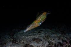Bigfin在海底附近的礁石乌贼在晚上 库存图片