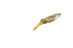 Bigfin Reef Squid Royalty Free Stock Images