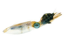 Bigfin Reef Squid Stock Image