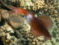 Bigfin Reef Squid. Underwater photo, Red Sea stock photos