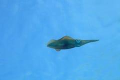 bigfinrevtioarmad bläckfisk Fotografering för Bildbyråer