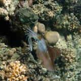 bigfinrevtioarmad bläckfisk Arkivfoto