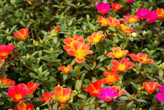 Bigflower purslane Royalty Free Stock Image