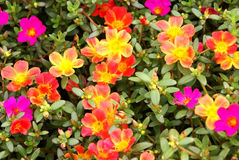 Bigflower purslane Royalty Free Stock Photos