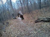 Bigfoot capturó en cámara móvil del teléfono celular Imagen de archivo libre de regalías