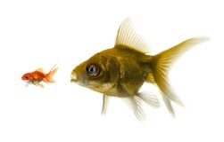 The bigger fish tries to eat the small one. Stock Photos