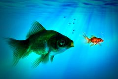 The bigger fish tries to eat the small one. Royalty Free Stock Images
