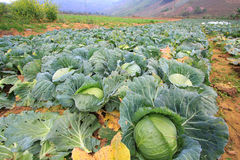 Biggest Cabbage. Field in Thailand. Phetchaboon, North of Thailand stock image