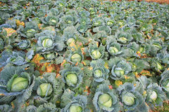 Biggest Cabbage. Field in Thailand. Phetchaboon, North of Thailand royalty free stock photography
