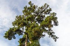 Biggest Canary Island pine Pino Gordo Stock Photography