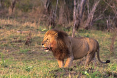The biggest cat. Africa Stock Photography