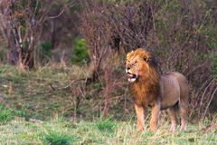 The biggest cat in Africa. Kenya Royalty Free Stock Photo