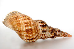 Biggest greek snail shell back. The biggest greek snail shell. Is about 30 cm long and can become up to 40-50cm. Unfortunately has become very rare. 20 Years ago Stock Photography