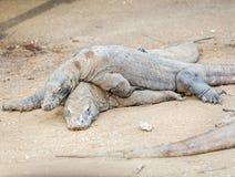 Biggest Lizard Komodo Dragon (Varanus komodoensis) in the Wild Stock Images