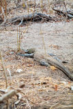 Biggest Lizard Komodo Dragon in the Wild Royalty Free Stock Images
