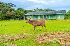 The biggest mammal. The Sri Lankan sambar deer is the biggest mammal in  Horton Plains National Park, Sri Lanka Stock Photos