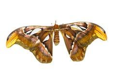 Biggest Moth royalty free stock photos