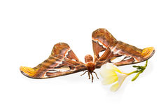 Biggest Moth stock photo