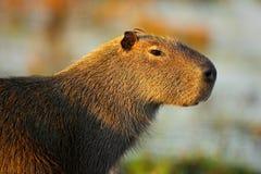 Biggest mouse around the world, Capybara, Hydrochoerus hydrochaeris, with evening light during sunset, Pantanal, Brazil Royalty Free Stock Photography
