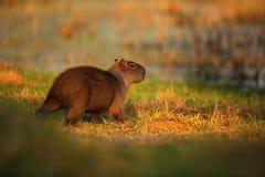 Biggest mouse around the world, Capybara, Hydrochoerus hydrochaeris, with evening light during sunset, Pantanal, Brazil Stock Photography