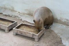 Biggest mouse, Capybara, Hydrochoerus hydrochaeris. Eating on field Royalty Free Stock Photos