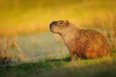 Biggest mouse, Capybara, Hydrochoerus hydrochaeris, with evening light during sunset, Pantanal, Brazil. South America. Big mouse Royalty Free Stock Images