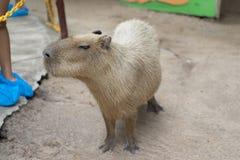 Biggest mouse, Capybara, Hydrochoerus hydrochaeris. Feeding by some one Royalty Free Stock Photography