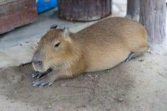 Biggest mouse, Capybara, Hydrochoerus hydrochaeris. Resting on field Stock Photography