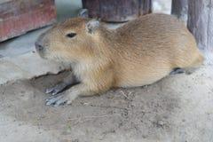 Biggest mouse, Capybara, Hydrochoerus hydrochaeris. Resting on field Royalty Free Stock Image