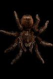 The biggest spider Royalty Free Stock Image