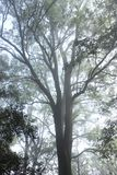 Biggest tree. Found in nandi hills, banglore Stock Image