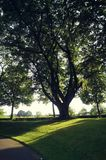 The biggest tree in the citypark Royalty Free Stock Photography