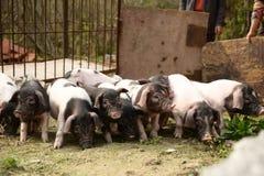 Biggetjes in boerenerf Stock Fotografie