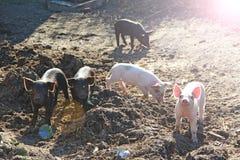 Biggetjes die heel in landbouwbedrijfyard spelen en in werking worden gesteld Grappige varkens in zonnige stralen royalty-vrije stock afbeelding