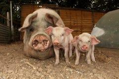Biggetjes met hun moeder Royalty-vrije Stock Fotografie