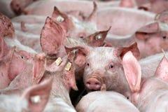 Biggetjes van een landbouwbedrijf van het varkensfokken royalty-vrije stock foto's
