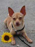 Biggilo con il fiore e la linguetta fuori Fotografia Stock Libera da Diritti