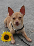 Biggilo with flower and tongue out. Chihuahua with flower and tongue out royalty free stock photo