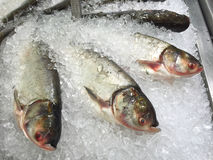 Bighead carp in the ice, sold in supermarket Thailand. Royalty Free Stock Images