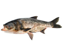 Bighead carp Royalty Free Stock Images
