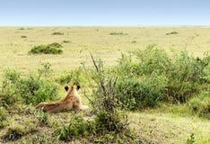 Bighellonare della leonessa Immagine Stock
