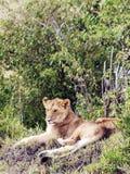 Bighellonare della leonessa Fotografia Stock