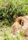 Bighellonare della leonessa Immagini Stock