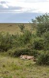 Bighellonare della leonessa Fotografie Stock Libere da Diritti