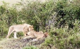 Bighellonare della leonessa Immagini Stock Libere da Diritti