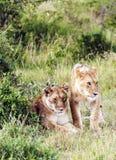 Bighellonare della leonessa Fotografia Stock Libera da Diritti