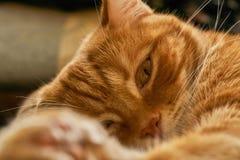 Bighellonare vago addormentato rosso di sonno del gatto dei peli, primo piano Fotografia Stock