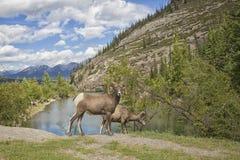 bighorn δύσκολα πρόβατα βουνών Στοκ εικόνες με δικαίωμα ελεύθερης χρήσης