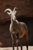 bighorn κοιτάζοντας πρόβατα στοκ εικόνα