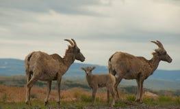 bighorn οικογενειακά πρόβατα Στοκ Εικόνα